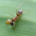 Honeypot ant