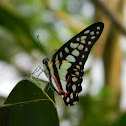 Graphium Butterfly