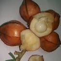 Wild Starfruit (Uchong)