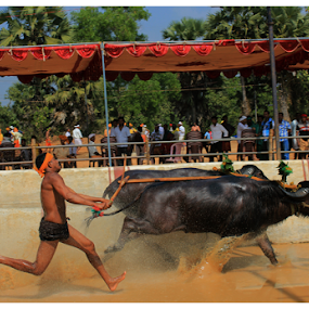 Speed.... by Ramya Raju - News & Events Entertainment ( kambla, speed, tulunadu, india, bafello race, karnataka,  )