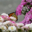 Mums and butterfly