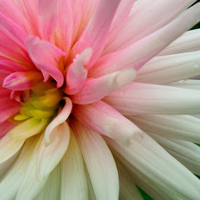 Flower Study by Mary Gerakaris - Flowers Single Flower ( natural patterns, beautiful patterns, artistic photography, petals, macro photography, dahlias, pink and white flowers, natural beauty,  )