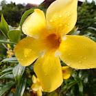 Yellow Allamanda