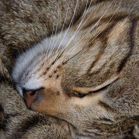Bengal Cat- Sleep of the Innocent by Ian Thompson - Animals - Cats Portraits ( nobody, cat, indoor, sleep, bengal, close up, portrait, animal portrait, pattern, bengal cat, no people, inside, green eyes, tranquility, feline, animal,  )