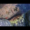 Sitting tidepool fish
