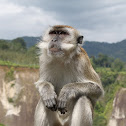 Long tailed macaque/Crab-eating macaque