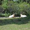 Scimitar Horned Oryx
