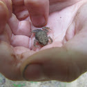 Fowler's Toad (baby)