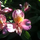 Peruvian Lily