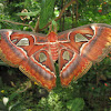 Atlas Moth - female