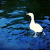 Domestic Goose hybrid