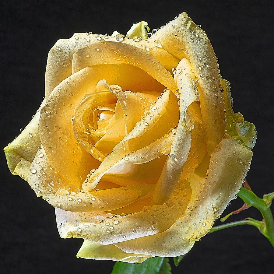 Thoughtful moment by Martin Crush - Flowers Single Flower ( crush photography, rose, yellow rose, crush studio, nature, flower, water drop )