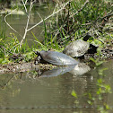 Midland Soft Shell Turtle