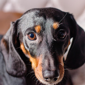 Garydog by Kim Verstringhe - Animals - Dogs Portraits ( dachshund, pet, dog portrait, dog,  )