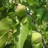Albaricoquero. Apricot tree