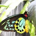 Goliath Birdwing Butterfly (male)