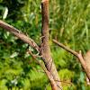 Asian twig mantis