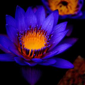 Loto azul by Lidia Noemi - Flowers Single Flower ( botanico, loto, flor, azul,  )