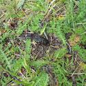 babosa negra(es) Slug(en)