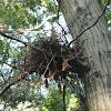 Eastern Gray Squirrel Nest