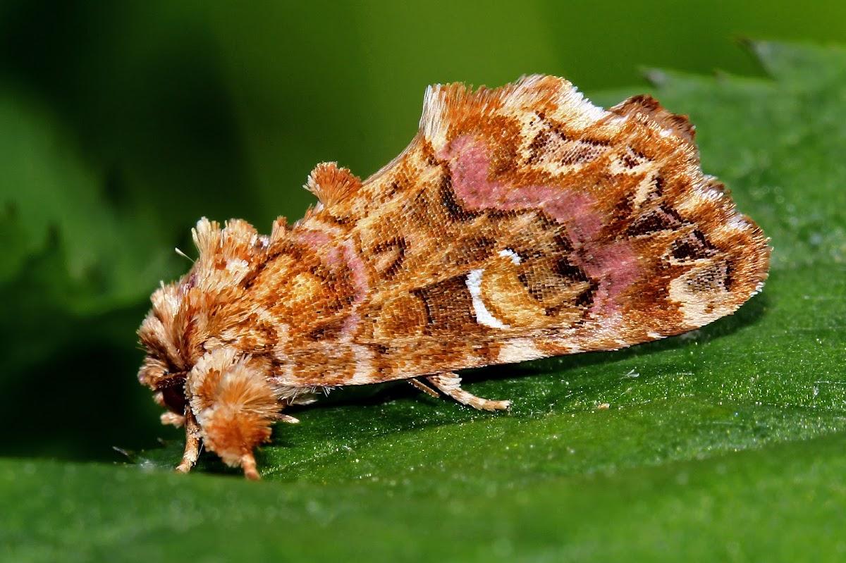 Pink Shaded Fern Moth