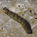 Buff-tip caterpillar