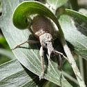 Wattle weevil