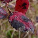 Hillside Blueberry