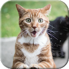 Cat licks glass Video LWP icon