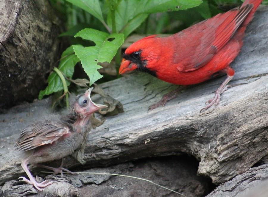 Baby Cardinal by Tina Marie - Animals Birds ( cardinal, wildlife, baby birds,  )