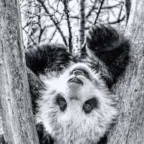 little panda hangover by Horst Winkler - Black & White Animals ( faul sein, wien, vienna, schönbrunn, zoo, panda, relax, little panda, hangover, relaxing, tiergarten, faul, black and white, animal,  )