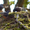 Grey Starling