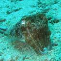Pharaoh cuttlefish