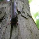 American Giant Milipede