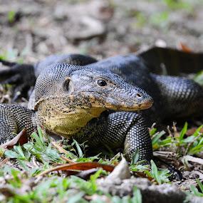 Monitor lizard by BoonHong Chan - Animals Reptiles ( reptiles, lizard, park, parks, monitor lizard, reptile )