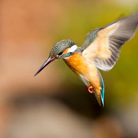comon king fisher by Cẩn Hải - Uncategorized All Uncategorized