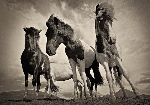 Icelandic horses B&W by Kristján Karlsson - Animals Horses ( black and white, animal,  )