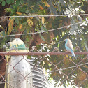 Blue Waxbill / Blue-Breasted Cordonbleu