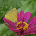 Amirilla butterfly