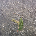 Dead and Alive Pine Needles