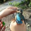 kingfisher, burung raja udang