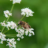 Drone Fly  (Mistbiene, Schlammbiene oder Scheinbienen-Keilfleckschwebfliege)