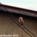 Balbul Sabah Malaysian bird