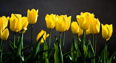 tulipes jaunes.jpg