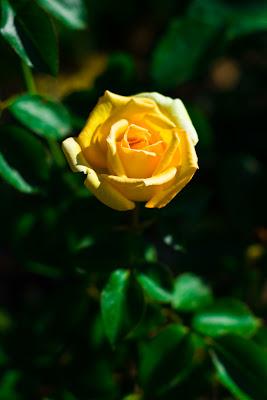 photo de rose jaune