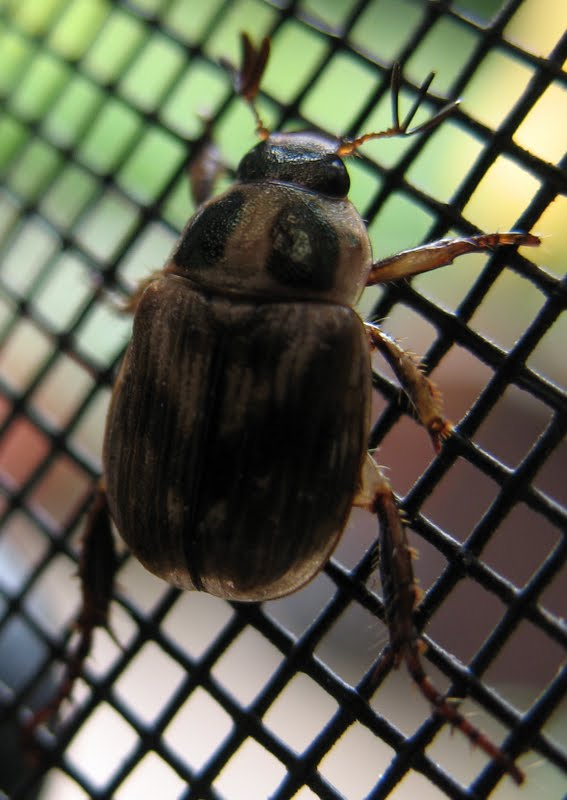 Small spotted beetle