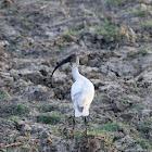 Oriental White Ibis (Juvenile)