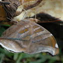 Stinky Leafwing Butterfly
