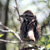 Song Sparrow - Adult Eastern Form