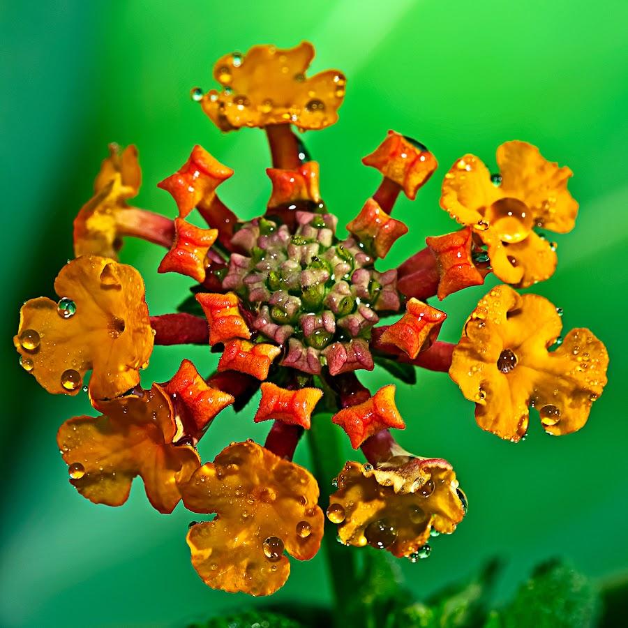 by Carlos De Sousa Ramos - Flowers Single Flower